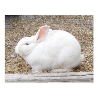 White Bunny Rabbit Postcard