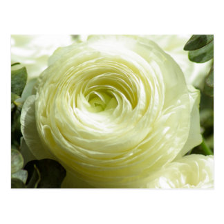 White Buttercup Flowers Postcard