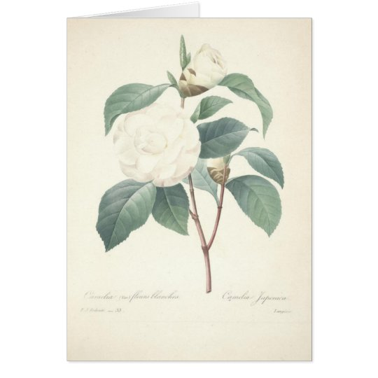 White Camellia by Redoute Card