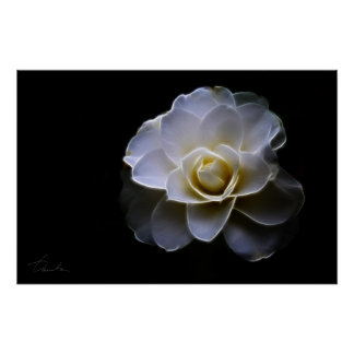 white camellia color poster