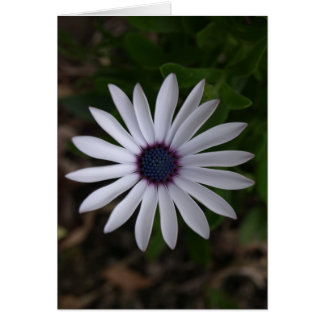 WHITE CAPE DAISY FLOWER Greeting Card