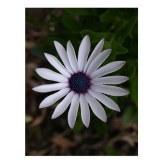 WHITE CAPE DAISY FLOWER Postcard (portrait)