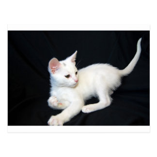 White Cat Playing Postcard
