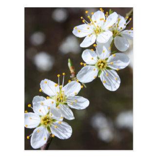 White cherry blossom postcard