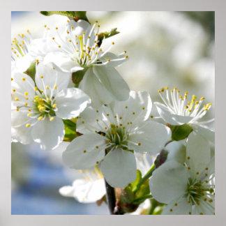 White Cherry Tree Blossoms Poster