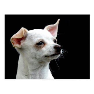 White Chihuahua on Black Background Postcard