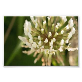 White Clover Photo Print