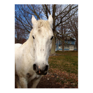 White  Clydesdale Postcard