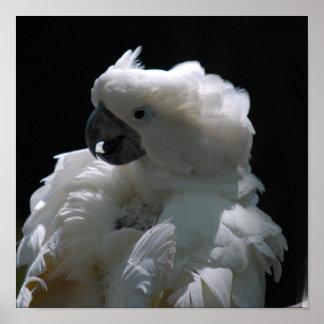 White Cockatoo Bird Poster