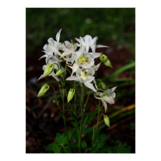 White Columbine with Bee Poster