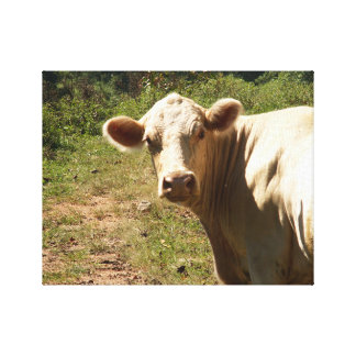 White Cow in Pasture Canvas Print