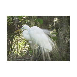 White Crown Egret in courting plumage Canvas Print