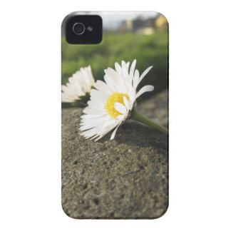 White daisies lying on the stone at sunset iPhone 4 cases