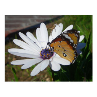 White Daisy and Butterfly Postcard