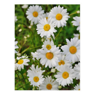 White Daisy Flower Postcard
