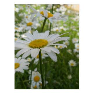 White Daisy Flower Postcard