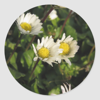 White daisy flowers on green background classic round sticker