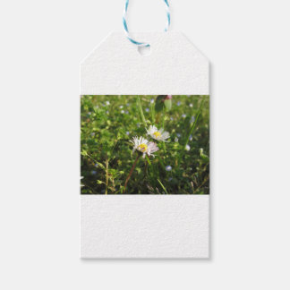 White daisy flowers on green background gift tags