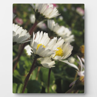 White daisy flowers on green background plaque