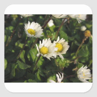 White daisy flowers on green background square sticker