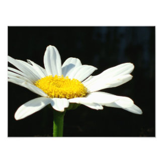 White Daisy Photo Print