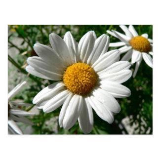 White Daisy Postcard