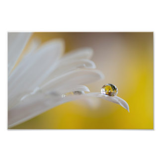 WHITE DAISY WITH DEW DROP by Michelle Diehl Photo Print