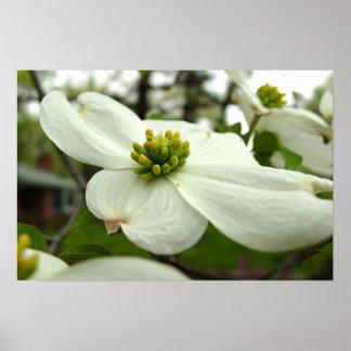 White Dogwood Blossom Poster