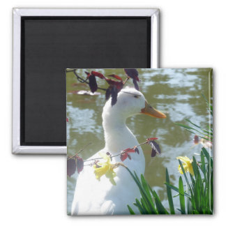 White Duck In Daffodils Square Magnet