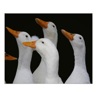 White Ducks Photo Poster