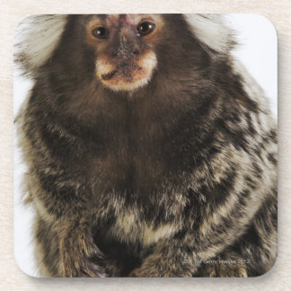 White eared Marmoset on branch, close up, studio Drink Coaster