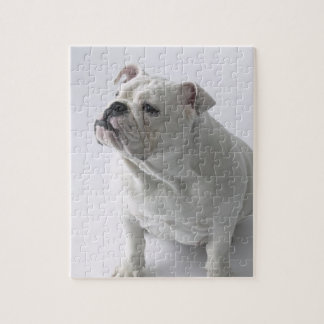 White English Bulldog sitting in studio, Jigsaw Puzzle