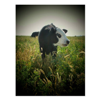 White Face in pasture Postcard