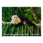 White Face Monkey Costa Rica Posters