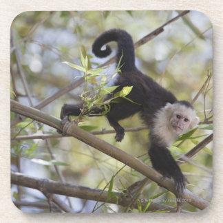 White-Faced Capuchin, Guanacaste, Costa Rica Beverage Coasters