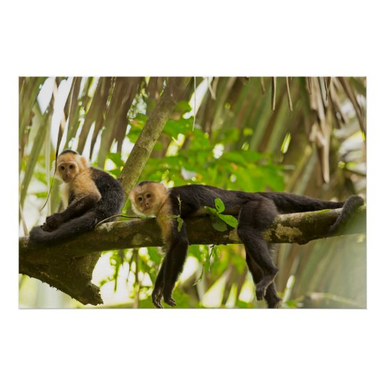 White Faced Capuchin Monkeys in Costa Rica Poster