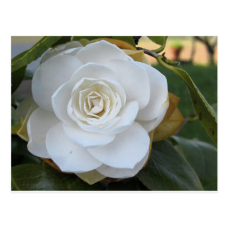 White flower of Camellia in spring Postcard