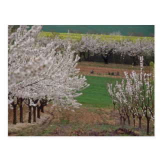 white Flowering cherry trees in Rhone Valley flowe Postcard