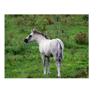 white foal postcard