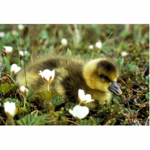 White-fronted Goose Gosling Cut Outs
