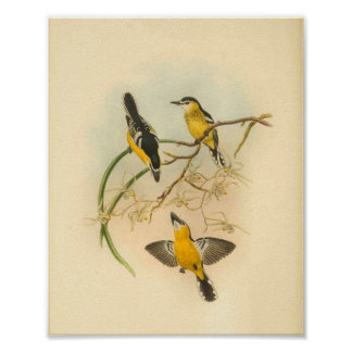 White Fronted Yellow Flycatcher Bird Vintage Print
