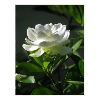 White Gardenia Blossom Postcard 2