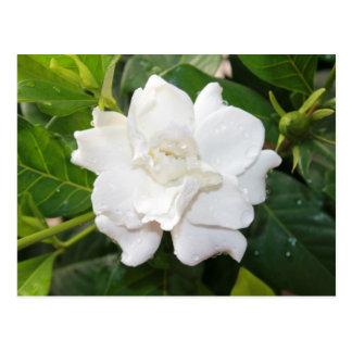 White gardenia flower postcard