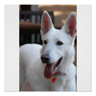 white german shepherd poster
