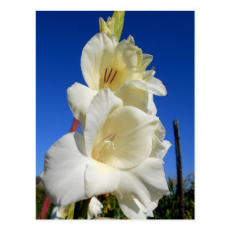 White Gladiolus And The Blue Sky Postcard
