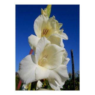 White Gladiolus And The Blue Sky Poster