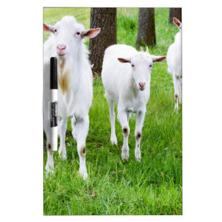 White goats on grass with tree trunks dry erase whiteboards