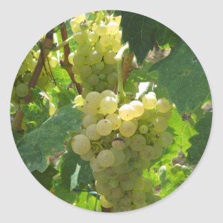 White grapes in a vineyard classic round sticker