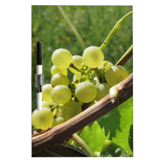 White grapes on the vine . Tuscany, Italy Dry-Erase Board