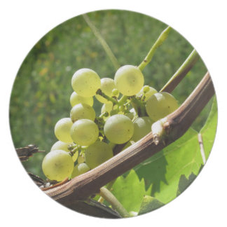 White grapes on the vine . Tuscany, Italy Party Plates